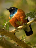 A Superb Starling Perched on an Acacia Tree Branch (Lamprotornis Superbus) Photographic Print by Roy Toft