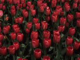 Hundreds of Red Tulips, Madison, Wisconsin, United States Photographic Print by Stacy Gold