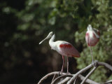 Roseate Spoonbill in Everglades National Park, Florida Photographic Print by James P. Blair