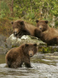 Three Alaskan Brown Bear Cubs (Ursus Arctos) Fishing for Salmon Photographic Print by Roy Toft