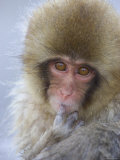 Baby Japanese Macaque (Snow Monkey)Close-up Face with Finger in Mouth Photographic Print by Roy Toft