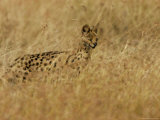 Serval (Leptailurus Serval) on Alert, Hunts in a Field Photographic Print by Roy Toft