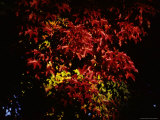 Highlighted Branches from a Single Tree Show a Range of Autumn Colors Photographic Print by Stephen St. John