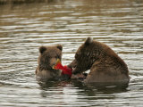 Alaskan Brown Bear with Cub (Ursus Arctos) Eating Salmon in Water Photographic Print by Roy Toft
