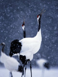 Pair Endangered Red-Crowned Cranes Calling in Snow (Grus Japonensis) Photographie par Roy Toft