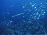 A School of Jack Fish Pursued by a Gray Reef Shark Photographic Print by Tim Laman