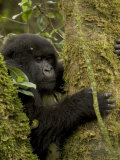 Young Mountain Gorilla Clings to Tree (Gorilla Gorilla Beringei) Photographic Print by Roy Toft