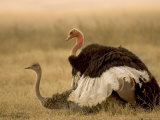 A Pair of Ostriches Mating (Struthio Camelus) Photographic Print by Roy Toft