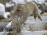 Japanese Macaque (Snow Monkey) Leaping in Air Photographic Print by Roy Toft