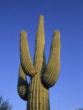 Giant Saguaro Cactus, Cereus Gigantea Fotografisk tryk af Rich Reid