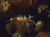 A Transparent Shrimp on a Tubastraea Coral Photographic Print by Tim Laman