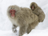 Mother Snow Monkey (Macaca Fuscata) with Baby on Her Back in Snow Photographic Print by Roy Toft