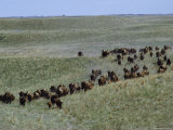 Herd of American Bison Gallop Down a Grassy Slope, Fort Niobrara National Wildlife Refuge, Nebraska Photographic Print by James P. Blair