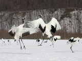 Endangered Red-Crowned Cranes (Grus Japonensis) in Snowy Mating Dance Photographic Print by Roy Toft