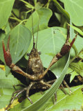 Crayfish Waving Its Pincers, Atchafalaya National Wildlife Refuge, Louisiana Photographic Print