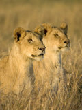 A Mirror Image Portrait of Two Young Lions in the Grass (Panthera Leo) Photographic Print by Roy Toft