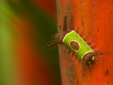 Colorful Saddleback Caterpillar Walking on Plant Stalk Photographic Print by Roy Toft