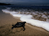 Newly Hatched Leatherback Turtle Crawling into the Surf, Playa Grande Beach, Costa Rica Photographic Print by Steve Winter