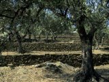 Terraced Stone Walls Support Olive Trees on the Hillside, Cadaques, Spain, Europe Fotografie-Druck von Stacy Gold