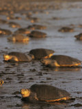 Pacific Ridley Turtles Come Ashore to Lay Eggs, Costa Rica Photographic Print by Steve Winter
