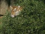 A Tiger Tries to Hide in a Pile of Bamboo Photographic Print by Taylor S. Kennedy