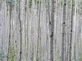 A Grove of Aspen Trees Outside Aspen, Colorado Fotografisk tryk af Taylor S. Kennedy