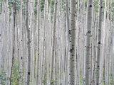 A Grove of Aspen Trees Outside Aspen, Colorado Stampa fotografica di Kennedy, Taylor S.