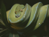 An Immature Green Tree Python Sits on a Tree Branch Photographic Print by Taylor S. Kennedy