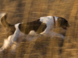An English Springer Spaniel Runs Through the Grass Photographic Print by Joel Sartore