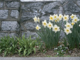 Daffodils Grow in Front of a Rock Wall Photographic Print by Taylor S. Kennedy