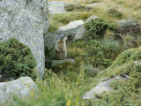 A Marmot Standing Next to His Hole Photographic Print by Taylor S. Kennedy