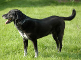 A Black Lab-Pointer Mixed Breed Dog Photographic Print by Stacy Gold