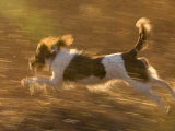 An English Springer Spaniel Runs Through a Field Photographic Print by Joel Sartore
