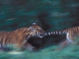 Two Tiger Cubs Play with Each Other on a Summer Morning Photographic Print by Taylor S. Kennedy