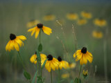 A Field of Black-Eyed Susans and Wild Grasses Photographic Print by Taylor S. Kennedy