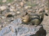 A Chipmunk Eats a Nut Photographic Print by Taylor S. Kennedy