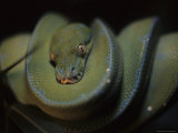 An Immature Green Tree Python Curled on a Branch Looks at the Camera Photographic Print by Taylor S. Kennedy
