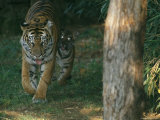 A Mother and Tiger Cub Walk Along a Forest Trail Photographic Print by Taylor S. Kennedy