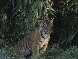 A Tiger Cub Looks Out at the World with Apprehension and Curiosity Photographic Print by Taylor S. Kennedy