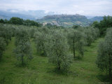 Umbrian Olive Orchards with the Town of Orvieto in the Distance Photographic Print by Taylor S. Kennedy