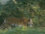 A Captive Tiger Cub Moves Through Bushes Photographic Print by Taylor S. Kennedy