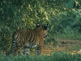 A Tiger Cub Looks Out onto a Forest Clearing Photographic Print by Taylor S. Kennedy