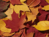 Autumn Leaves Lie in a Pile on the Forest Floor Photographic Print by Taylor S. Kennedy