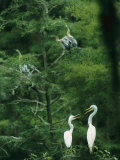 A Pair of Egrets and a Pair of Anhingas Sit on Tree Branches Photographie par Taylor S. Kennedy