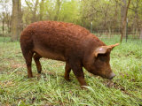 A Red Wattle Pig on a Farm in Kansas Fotografie-Druck von Joel Sartore