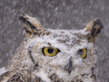A Captive Great Horned Owl at a Recovery Center Photographic Print by Joel Sartore