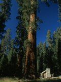 Giant Sequoia Tree Towers over a Rustic Museum Building, Yosemite National Park, California Photographic Print by Phil Schermeister