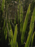Spiderweb Supported by Tall Iris Leaves, Raspberry Island, Isle Royale National Park, Michigan Photographic Print by Phil Schermeister