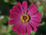 A Single Zinnia Photographic Print by Taylor S. Kennedy
