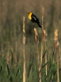 Yellow-Headed Blackbird, Klamath Basin Refuge Complex, Oregon Photographic Print by Phil Schermeister